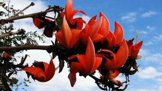 アカガウクルア(ソフォン)の効果・効能 | 精力剤・滋養強壮剤の原料