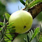 アムラの効果・効能 | 精力剤・滋養強壮剤の原料