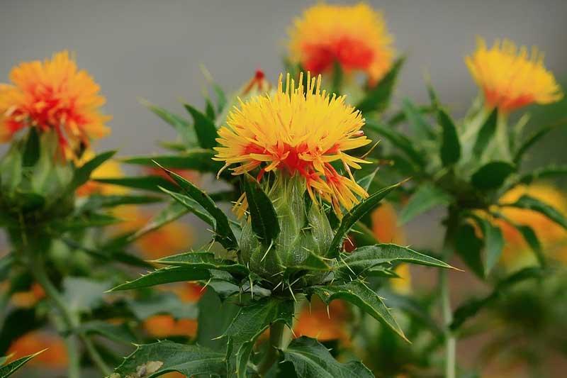 紅花油の効果・効能 | 精力剤・滋養強壮剤の原料