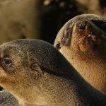 海狗腎(カイクジン)の効果・効能 | 精力剤・滋養強壮剤の原料