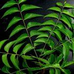 ニーム葉エキスの効果・効能 | 精力剤・滋養強壮剤の原料
