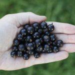 ブラックカラントの効果・効能 | 精力剤・滋養強壮剤の原料