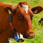 牛黄(ゴオウ)の効果・効能 | 精力剤・滋養強壮剤の原料
