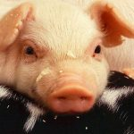 豚睾丸エキスの効果・効能 | 精力剤・滋養強壮剤の原料