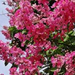 バナバの効果・効能 | 精力剤・滋養強壮剤の原料