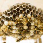蜂の子の効果・効能 | 精力剤・滋養強壮剤の原料