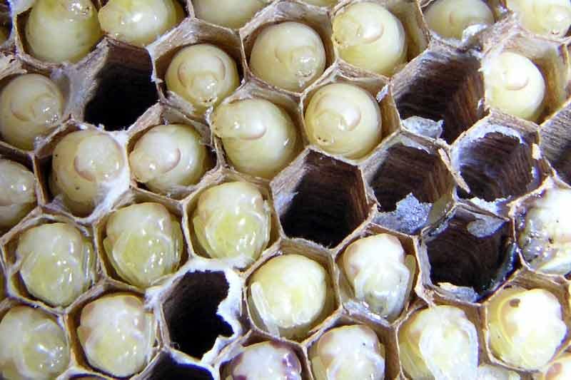 蜂の子に含まれる成分