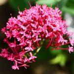 バレリアン(セイヨウカノコソウ)の効果・効能 | 精力剤・滋養強壮剤の原料