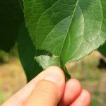 杜仲(トチュウ)の効果・効能 | 精力剤・滋養強壮剤の原料